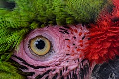 Macaw , Addo Wildlife , Addo, South Africa (SuzieAndJim) Tags: closeup colourful colorful parrot feathers plumage eye bird wildlife addowildlife africa southafrica addo macaw naturephotography nature color colors colour colours red green pink yellow suzieandjim