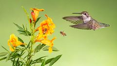 Bees, Bird and Blossoms (Eric Gofreed) Tags: arizona hummingbird multiflashphotography mybackyard sedona villageofoakcreek