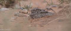 Okennattskärra  (Caprimulgus aegyptius) (Hans Olofsson) Tags: caprimulgusaegyptius camoflage bird fågel marocko morocco sahara desert öken ökennattskärra