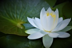 Waterlily (Jeong Kab Cheol) Tags: waterlily lily nature nikon plants photo color white green 수련 식물 자연 꽃 사진 니콘 색 컬러 花 自然 植物 写真 水蓮 ニコン カラー カメラ 水 緑