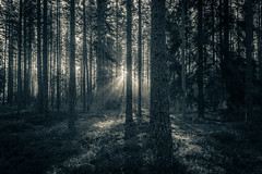 Shine (mabuli90) Tags: finland forest monochrome tree dark shadow light sunlight morning dawn sunrise blue grass