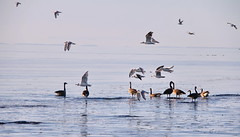 CANADA GEESE | BRANTA CANADENSIS | SEAGULLS IN FLIGHT  | ST. LAWRENCE RIVER  | REFORD GARDENS |  GASPESIE  |  QUEBEC  |  CANADA (C C Gosselin) Tags: reford gardens | gaspesie quebec canada goose mouette mouettes geese branta canadensis seagulls in flight st lawrence river canon 7d 7dmarkii rebel t2i canonrebelt2i eos canon7d markii rebelt2i canonrebel canont2i eost2i eos7d eos7dmarkii mark 2 mark2 eos7dmark2 canon7dmarkii ii canoneosrebelt2i canoneos7d canoneos ph:camera=canon bernaches outardes bernache outarde flickr