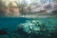 Submerged (3rd-Rate Photography) Tags: hippopotamus hippo fish underwater animal nature disney animalkingdom themepark orlando florida canon 50mm 5dmarkiii 3rdratephotography earlware 365 cute happy funny