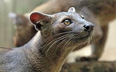 fossa duisburg 094A0280 (j.a.kok) Tags: fossa fretkat madagascar africa animal afrika predator mammal zoogdier dier duisburg