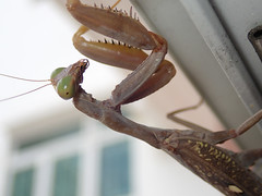 P9230180_RAW_ps (kentsang66) Tags: insect mantis
