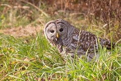 Barred Owl with Prey (rosemaryharrisnaturephotography) Tags: barredowlwithprey barredowl bird nature wildlife daylight rosemaryharris canoneos7d canonef100400f4556lens owl green owlwithprey vole owlwithfood