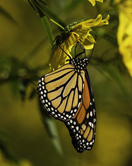 MonarchButterfly_SAF9742 (sara97) Tags: danausplexippus butterfly copyright©2018saraannefinke insect missouri monarch monarchbutterfly nature photobysaraannefinke pollinator saintlouis towergrovepark urbanpark