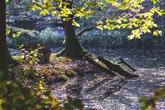 Herbst (joern_ribu) Tags: hameln saupark springe baum teich park holz herbst autumn
