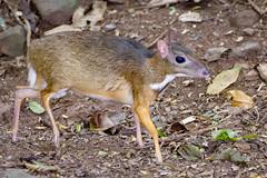 Lesser mouse-deer :: Chevrotin malais..Thaïlande (geolis06) Tags: geolis06 asia asie thaïlande kaengkrachannationalpark nature rainforest forêt forest nikon nikond7200 sigma150600mmf563contemporary traguluskanchil chevrotainmalais lessermousedeer naturethailande tragulepygmée