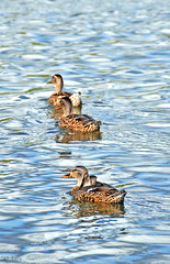 Three Mallards (Kevin@Nugent) Tags: ducks mallards female waterfowl wildlife birds water nature nikon d300 london ontario