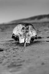 Skull (Eazo100) Tags: seehund schädel knochen nikon nature monochrome bones hennestrand dänemark strand beach schweinswal porpoise