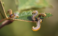 do the twist (bugman11) Tags: sawfly larvae larva macro fauna insect insects animal animals bug bugs bokeh nature thenetherlands nederland bloemendaal canon leaf leaves 100mm28lmacro