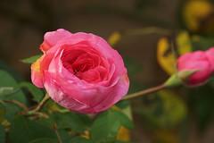 Rose en train de s'épanouir (stephane_gregoire) Tags: rose rosa pink fleur flower tamron18200mmf3563diiiivc tamron182003p56p3diiiivc tamron18200