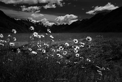 Come down, come talk to me (.KiLTRo.) Tags: kiltro nz newzealand eglintonvalley mountain fiorlandnationalpark valley daisy flowers nature landscape clouds sky