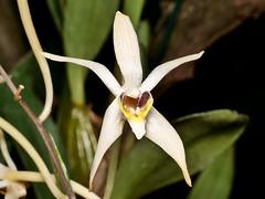 Dendrobium (Epigeneium) cymbidioides (Eerika Schulz) Tags: dendrobium epigeneium cymbidioides eerika schulz