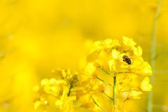 _DSC0996 (gael.lebrun56) Tags: fleur colza rape beez flower macro insect