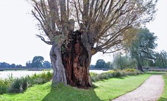 A Stricken White Willow (standhisround) Tags: trees tree park nature whitewillow bushypark old greaterlondon uk rotted wood path pond england