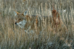 Coyote In Prairie Grass (dcstep) Tags: dsc0550dxo cherrycreekstatepark colorado usa aurora sonya9 fe100400mmf4556gmoss nature urban urbannature allrightsreserved copyright2018davidcstephens dxophotoab