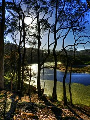 Forest and stream III (elphweb) Tags: hdr highdynamicrange nsw australia forest bush tree trees wood woods spottedgum spottedgums spottedgumtrees waterway water stream creek weed algae