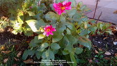 Trinity Free Church gardens - Pink Dahlia flowering in front of main entrance 22nd October 2018 (D@viD_2.011) Tags: trinity free church gardens pink dahlia flowering front main entrance 22nd october 2018