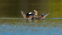 Just one of my tricks... (Earl Reinink) Tags: bird wings waterfowl duck color water reflection autumn fall earl reinink earlreinink hhhdtudaza gadwall