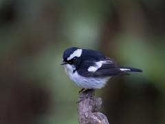 Little Pied Flycatcher _ Boluo ☺ (mahi mahi 163) Tags: flycatcher 80400mm china