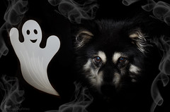 10/12/B taivas - spooky 31/31 (sure2talk) Tags: taivas finnishlapphund spooky ghost halloween smoke lowkey nikond7000 nikkor1855mmf3556afs flash speedlight sb900 offcamera snoot 12monthsfordogs 12monthsfordogs18 1012b october2018amonthin31pictures 3131