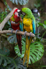 Red & Green Macaw with Great Green Macaw (billcoo) Tags: parrot 6d2 6dii 2 nature animal kiss psittacidae rainforest