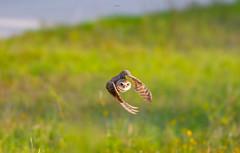 Speed (agnish.dey) Tags: bird birding birdwatching bokeh owl birdsinflight burrowingowl capecoral florida wildlife grassland naturallight nature naturephotograph naturethroughthelens nikon animalplanet d500 coth