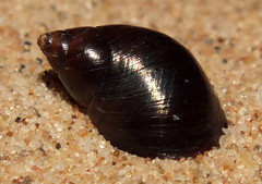Black atlantic planaxis snail (Supplanaxis nucleus) (shadowshador) Tags: black atlantic planaxis snail supplanaxis nucleus neomura eukaryota opisthokonta holozoa filozoa animalia eumetazoa bilateria protostomialophotrochozoa mollusca conchifera gastropoda gastropod gastropods caenogastropoda caenogastropod caenogastropods sorbeoconcha cerithioidea planaxidae planaxinae conchology malacology invertebrate invertebrates taxonomy scientific classification biology sea snails shell shells sand sandy beach wildlife life shiny glossy marathon florida keys floridakeys usa
