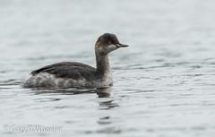 Black Necked Grebe (Ponty Birder) Tags: g b wheeler garywheeler pontybirder birds grebe wales