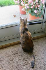 Gracie 13 August 2018 0590Ri 4x6 (edgarandron - Busy!) Tags: cat cats kitty kitties tabby tabbies feline gracie patchedtabby