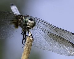 DragonFly_SAF3988_DxO (sara97) Tags: odonata copyright©2018saraannefinke dragonfly insect missouri mosquitohawk nature photobysaraannefinke predator saintlouis towergrovepark