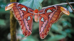 rc_wildlife_43 (R.C. Reshel) Tags: wildlife animals tiere aquarium bauernhof ozean säugetiere vögel insekten schmetterlinge fische atlasspinner falter schmetterling