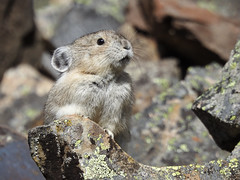 American Pika - such a cutie (annkelliott) Tags: alberta canada kananaskis kcountry rockymountains canadianrockies nature wildlife animal wild wildanimal mammal pika americanpika ochontaprinceps lagomorpha ochotonidae ochonta 69incheslong frontview native rock lichens scree talus rockglacier coldclimates restingforafewseconds outdoor fall autumn 25september2018 nikon p900 nikonp900 coolpix annkelliott anneelliott ©anneelliott2018 ©allrightsreserved