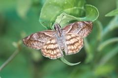 Timochares trifasciata (fabriciodo2) Tags: timocharestrifasciata papillon mariposa butterfly macro nature mexique