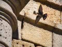 Exhibición aérea (Luicabe) Tags: airelibre animal ave avión cabello columna edificio enazamorado exterior gorrión luicabe luis naturaleza ngc pájaro piedra tyonoprognerupestris yarat1 zamora zoom