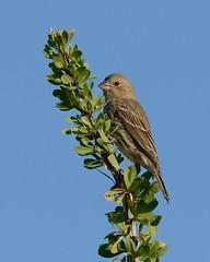 2018-09-28 Green Valley, AZ 8 (JanetandPhil) Tags: 20180910artxaznmvacation birds nikon nikkor d800 800mmf56 greenvalleyaz housefinch haemorhousmexicanus female