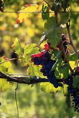 Quasi Pronta (DADAEOS) Tags: uva frutto natura langhe