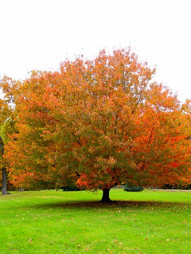 Pretty Orange Fall Tree