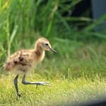 WE-GT-Godwit Chick rearing pen 4-