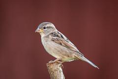 House Sparrow... (Allan James Fisher) Tags: sparrow nikon d500