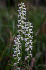 Spiranthes odorata (Fragrant Ladies'-tresses orchid) (jimf_29605) Tags: spiranthesodorata fragrantladiestressesorchid francismarionnationalforest berkeleycounty southcarolina sony a7rii 90mm