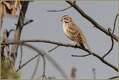 A Perching Lark Sparrow 1607 (maguire33@verizon.net) Tags: pradoregionalpark sparrow bird wildlife chino california unitedstates us