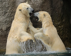 polarbear Sizzel and Todz Blijdorp 094A1155 (j.a.kok) Tags: beer bear ijsbeer polarbear ursusmaritimus ursus blijdorp animal arctic noordpool northpole blijdorpzoo mammal zoogdier dier sizzl sizzel todz