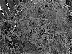 One of my Acer's  Monochrome (brianarchie65) Tags: acer acers plants trees iphonese kingstonuponhull eastyorkshire red garden geotagged brianarchie65 blackandwhite blackandwhitephotos blackandwhitephoto blackandwhitephotography blackwhite123 blackwhiterealms yorkshireblackandwhite yorkshirecameraramblers ngc