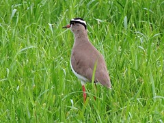 Crowned Lapwing (ugeiser) Tags: southafrica birds shorebirds western cape westerncape