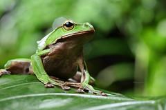 2J4A8078 (ajstone2548) Tags: 12月 樹蛙科 兩棲類 翡翠樹蛙