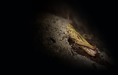 Shine a Light (Nickerzzzzz - Thanks for stopping by :)) Tags: ©nickudy nickerzzzzz theartofphotography wwwdigittaliacom canoneos5dmarkiii ef100mmf28lmacroisusm photograph photography wildlife nature insect outdoor meadowgrasshopper chorthippusparallelus macro rock wings animal 5d33457