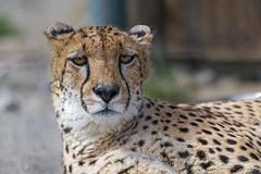 Cheetah lying down (Tambako the Jaguar) Tags: cheetah big wild cat male lying restiing portrait face close kinderzoo zoo knie rapperswil switzerland nikon d5